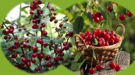 Wiśnia - jedno drzewko 2 odmiany! (Debreceni Botermo + Kelleris) - owocowanie VI/VII, VII