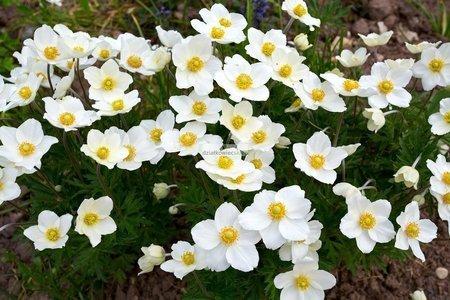 Zawilec mieszańcowy Honorine Jobert (Anemone ×hybrida)