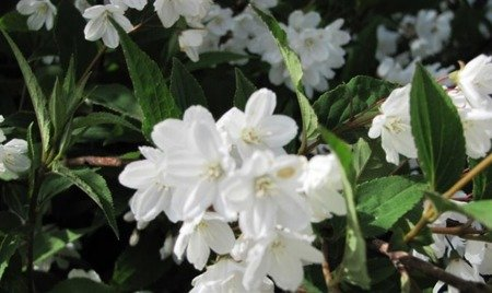Żylistek różowy (Deutzia xrosea) Campanulata