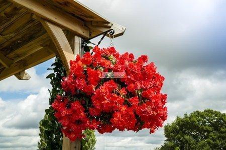Begonia zwisająca czerwona (1 szt.)