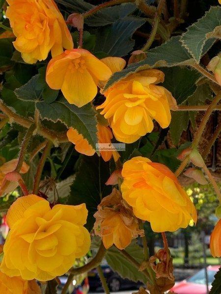 Begonia zwisająca żółta (1 szt.)